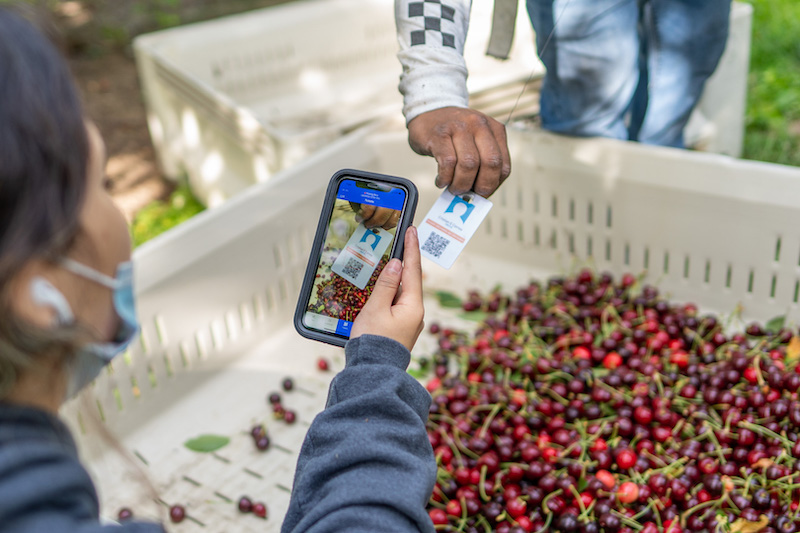 FieldClock Ticketer scanning cherry production